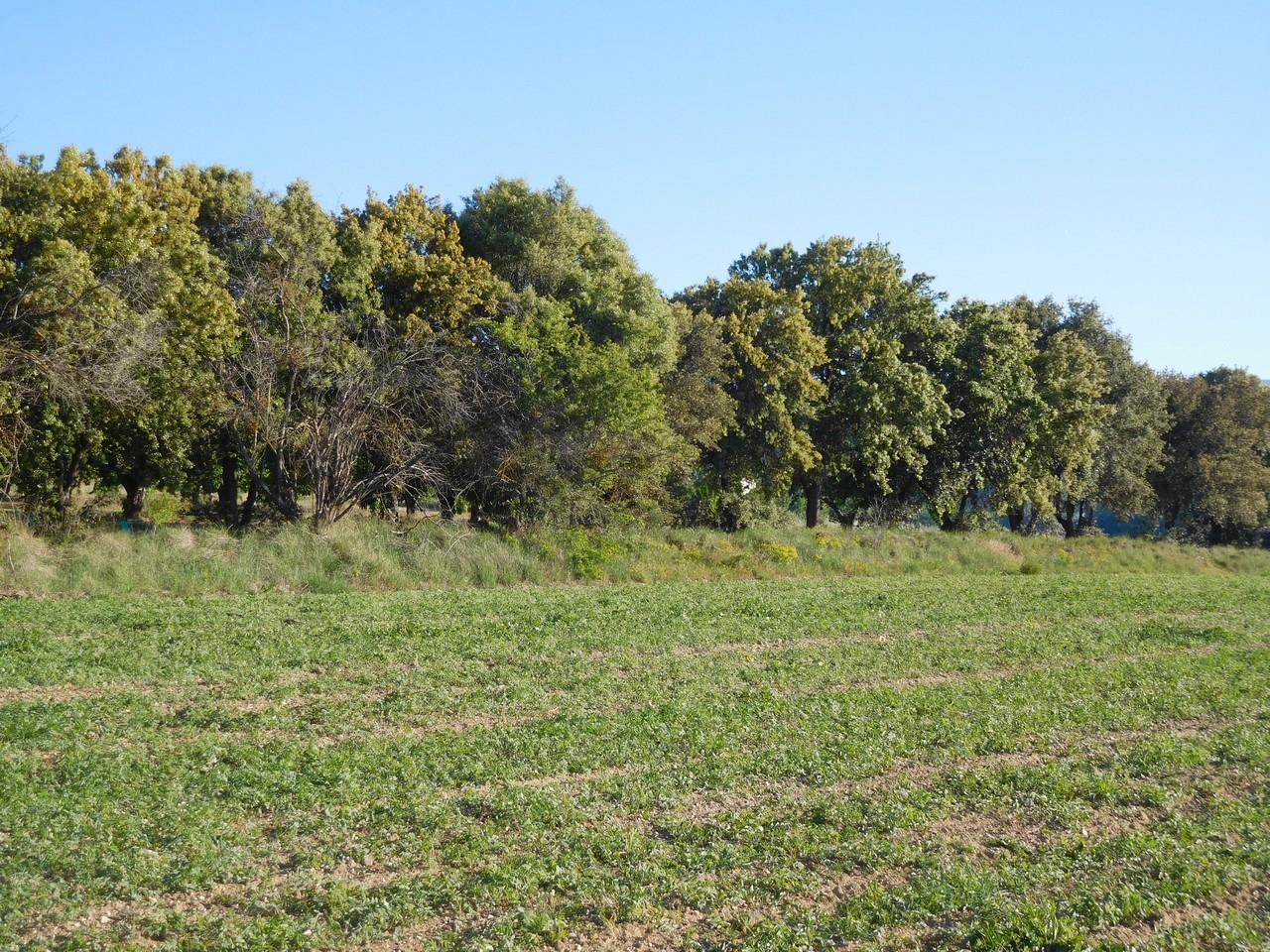 Vue des chênes en face du Petit Mas